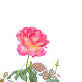 Pink rose flower on branch and leaf isolated on white Royalty Free Stock Image