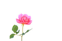 Pink rose flower on branch and leaf isolated on white Stock Image