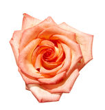 Pink rose flower bud Stock Photography