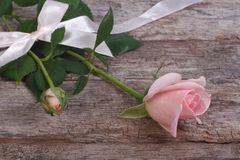 Pink rose flower with buds fight with ribbon and bow Stock Image