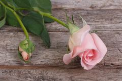 Pink rose flower with buds on the old wood Stock Images