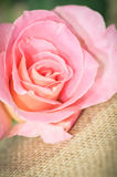 Pink rose flower Stock Photo