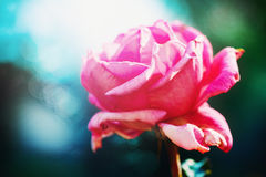 Pink rose flower close up Stock Photography