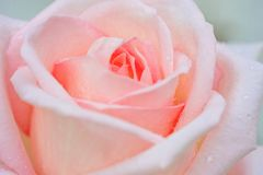 Pink rose flower close-up with drops stock photo