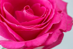 Pink rose flower Royalty Free Stock Photo