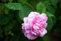 Pink rose flower close-up photo with shallow depth of field, dro. Ps of water and leaves Royalty Free Stock Photos