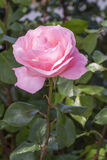 Pink rose flower Stock Photography