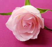 Closeup of tender rose. Pink rose background. Beautiful soft flower. stock photo
