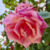 Pink rose flower closeup Royalty Free Stock Photo