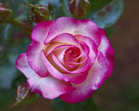 Pink rose flower closeup Royalty Free Stock Photos