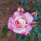 Pink rose flower closeup, natural background Stock Photo