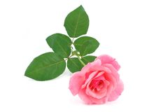 Pink rose flower cutted Stock Image