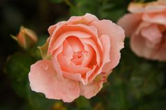 Pink rose flower on dark background Stock Photos