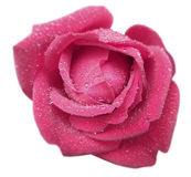 Pink rose flower with dew. White isolated background with clipping path.  Closeup. no shadows Royalty Free Stock Photos