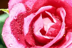 rose flower with drops of water Royalty Free Stock Photo