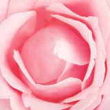 Pink Rose Flower Royalty Free Stock Photos