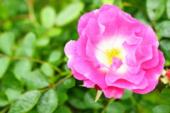 Pink rose in the flower garden. Beautiful pink rose in the flower garden Royalty Free Stock Photography