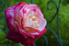 Pink rose from the flower garden Stock Photos