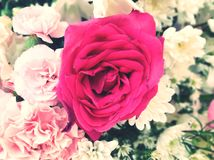 Pink rose flower is in garden royalty free stock photo