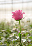 Pink rose flower in garden Royalty Free Stock Photos