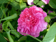 Pink Rose Flower in Garden. Pink rose flower in full bloom in garden or park Royalty Free Stock Photo