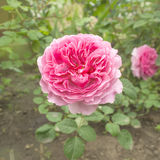 Pink rose flower in the garden Royalty Free Stock Photography