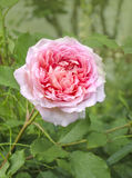 Pink rose flower  in  garden Royalty Free Stock Photo