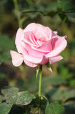 pink rose flower in garden Stock Images