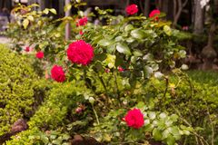 Pink Rose Flower in the Garden - São Paulo, Brazil stock image