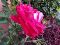 Pink rose flower in garden. Flower of thorny shrub, used in floral arrangements, ornamental plant with fragrance, ingredient by essence in oil for medicinal use Royalty Free Stock Photos