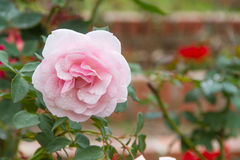 Pink rose flower Royalty Free Stock Images