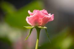 Pink  rose flower with green leaf