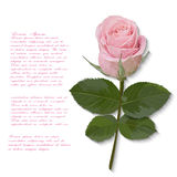 Pink rose flower hand drawn for your design Stock Photography