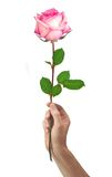 Pink rose flower in hand men isolated on a white Stock Photos
