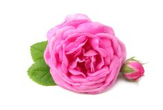 Pink rose flower head isolated on white background. top view royalty free stock photo