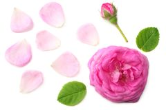 Pink rose flower head isolated on white background. top view stock image