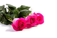 Pink rose flower head  . Petals Border Royalty Free Stock Images