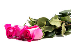 Pink rose flower head Stock Images