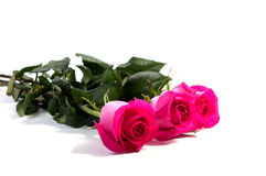 Pink rose flower head  . Petals Borderisolated Royalty Free Stock Image