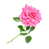Pink rose flower isolated on a white Royalty Free Stock Photos