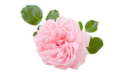 Pink rose - flower isolated on white background Royalty Free Stock Image
