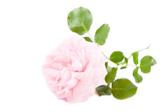 Pink rose - flower isolated on white background Stock Photo