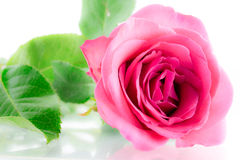 Pink Rose Flower Stock Photos