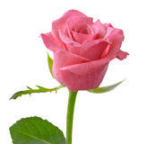Pink rose flower isolated on white background Royalty Free Stock Images