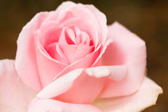 Pink Rose Flower isolated on white background Royalty Free Stock Photography
