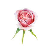 The pink rose flower isolated on white background, watercolor illustration. In hand-drawn style Vector Illustration