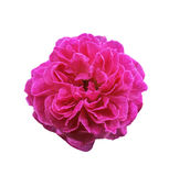 Pink rose flower isolated stock photo