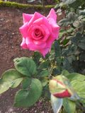 Pink rose flower with leaf royalty free stock photo