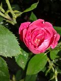 Pink rose flower with leaf stock images