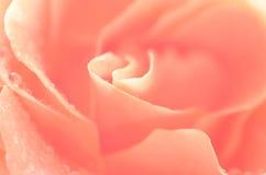 Pink rose flower macro Royalty Free Stock Photo
